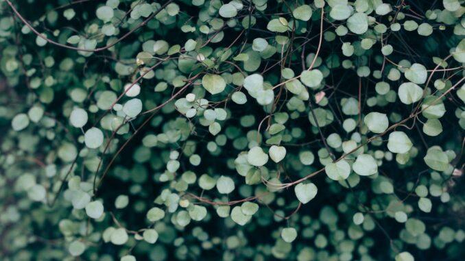 plantevægge